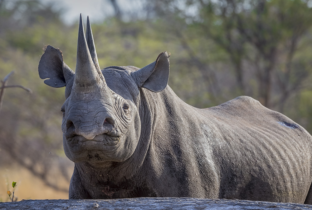 2016: A good year for Botswana's rhinos