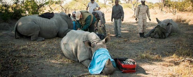 Wild rhino tagging operation a success